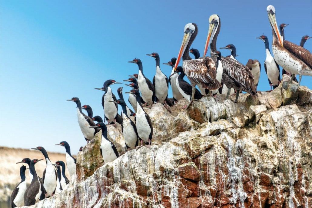Peruaanse Pinguïns @ Paracas
