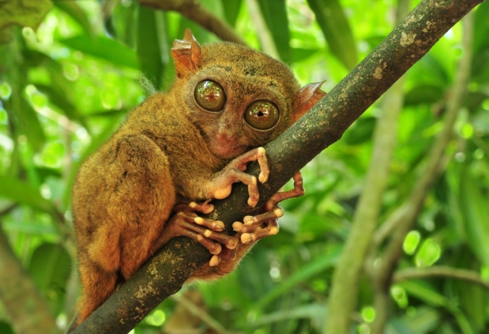 Lustrumreis Filipijnen! - Surreële primaten Tarsiers