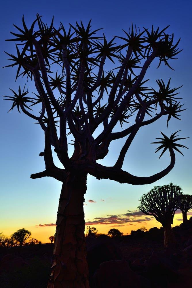 Lustrumreis Namibië - Kokerbomenwoud in de Kalahari